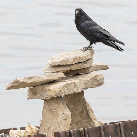Raven sitting on Inukshuk near public docks in Moosonee.