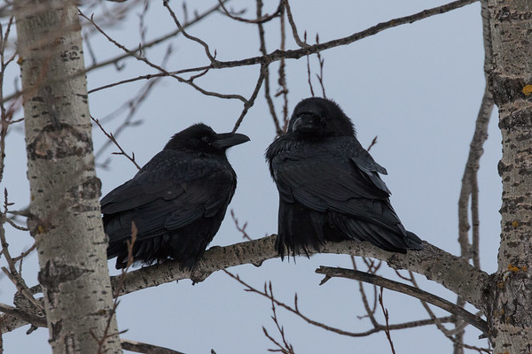 Two ravens waiting for breakfast in a tree