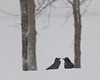 Ravens along the shoreline of the Moose River on the ground while snow falls.