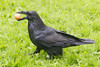 Raven carrying an egg on grass.
