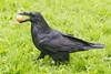 Raven carrying an egg on grass.