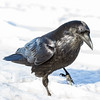 Raven in snow. Head in focus. One foot slightly out of focus lifted.