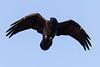 Raven in flight. Almost overhead, wings bent.