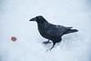 Raven contemplating an egg.