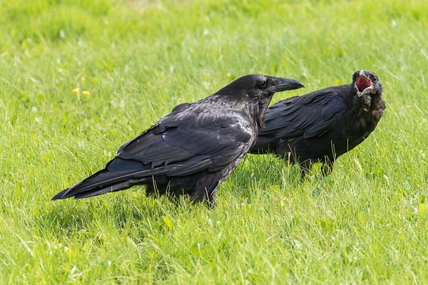 Juvenile raven begs for food from an adult raven.