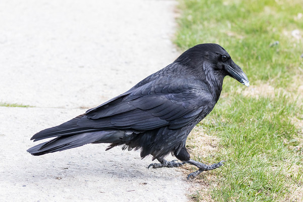 Common Raven on sidewalk. Cream cheese on beak.