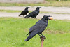 Raven with egg in beak on water shutoff with two ravens in the background (not in focus).