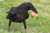 Juvenile raven picks up an egg shell.