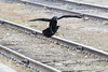 Raven about to land between the tracks.