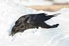 Raven, on ground, stretching for lard.