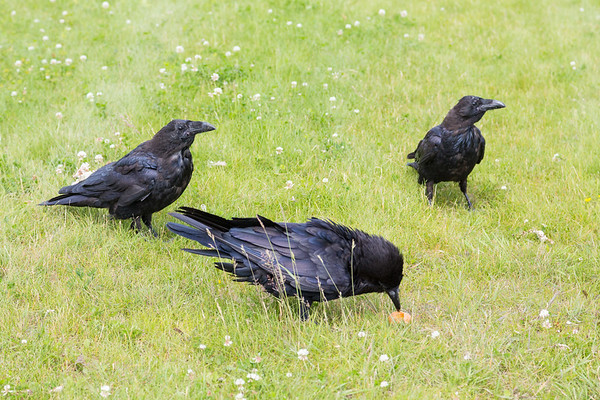 Adult raven eating by two juveniles.