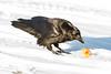 Raven eating egg yolk on snow.
