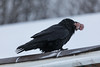 Raven with ground beef in its beak.