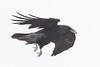 Raven in flight, wings folded, feet down.