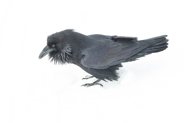 Raven in snow. Beak partially open.