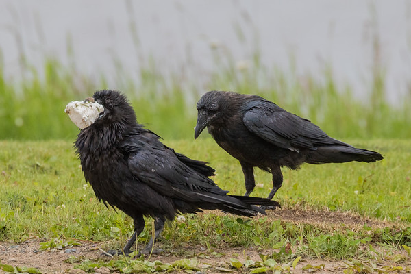 Adult raven with food in foreground with juvenile in background.