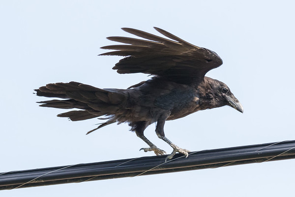Juvenile raven landing on a telephone cable.