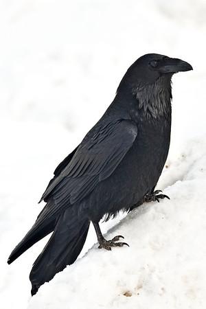Raven sitting on a sloping snowbank, maximum pixel size 2501