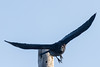Raven leaping off utility pole.