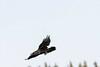 Raven in flight, descending.