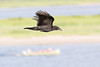 Juvenile raven in flight, wings up. Out of focus canoe below.