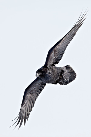 Raven, in flight, wings extended, turning