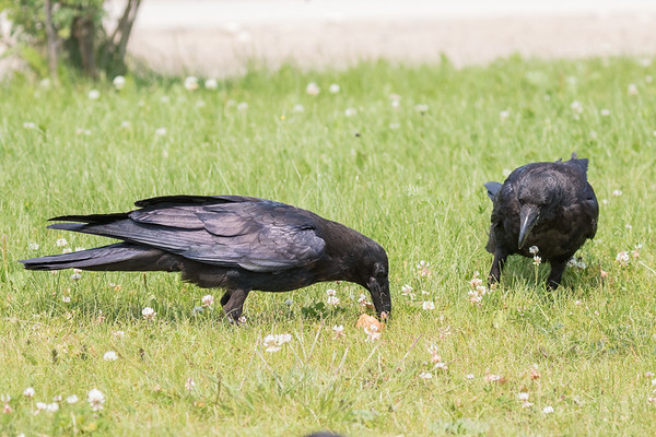 One juvenile raven eating while another watches.