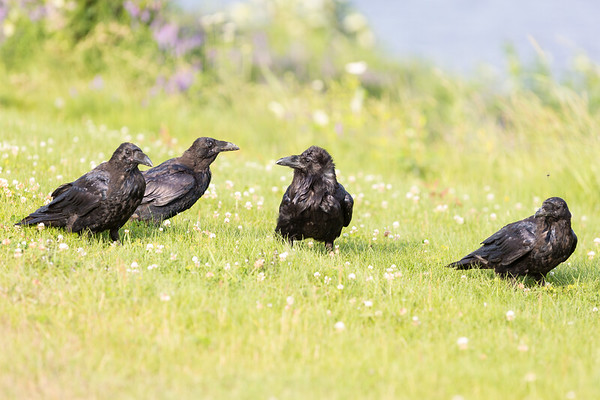 Two juvenile ravens at left, one at right surrounding an adult.