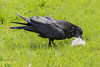 Adult raven eating lard.