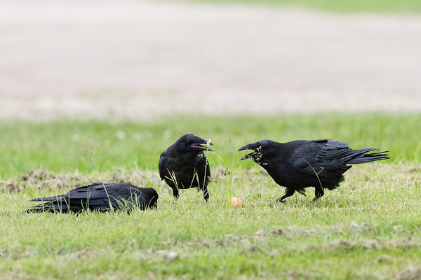 Two juvenile ravens, one adult at right  near an egg on ground.