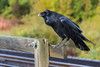 Raven on railway bridge over Store Creek.