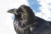 Raven, feathers on head raised, chuffed up, headshot.