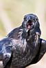 Raven, close up, beak open.