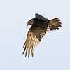 Raven in flight