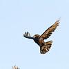 Raven in flight, break partially open, wings up.