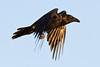 Raven in flight, both wings down.