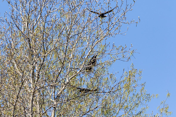 Two crows (top and bottom) harassing a raven in a tree in Moosonee.