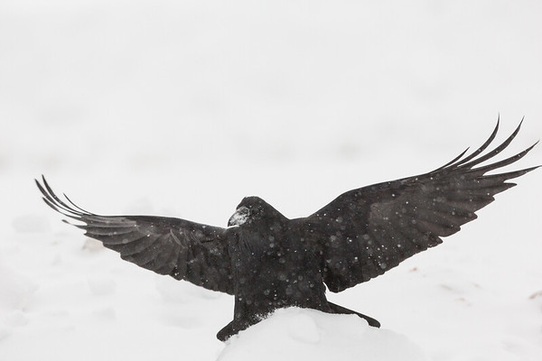 Raven landing in snow storm. Part of one wing tip out of frame.