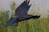 Raven in flight, egg in beak, wings out.