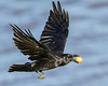 Raven in flight over water with brown egg, wings up.