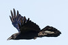 Raven in flight. From side, one wing up, one wing out.