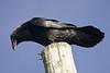 Raven on pole looking downwards against blue sky