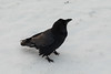 Raven on snow before surnise.