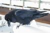 Raven pecking at snow.