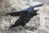 Juvenile raven, mouth open, wings out on ground