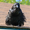 Raven with feathers spread on the edge of roof.