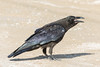 Juvenile raven calling.