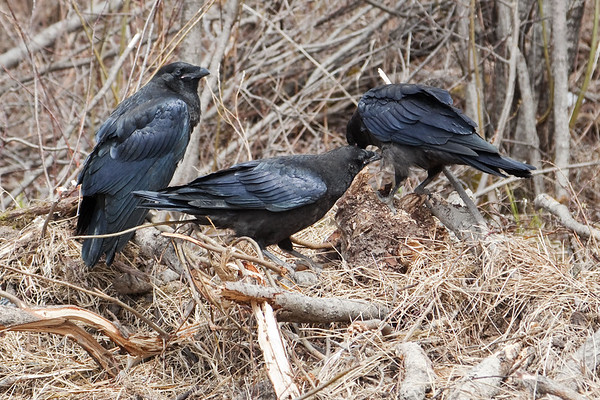 Three juvenile ravens on a pile of grass and sticks. Middle bird grooming bird on right.