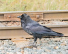Raven along the tracks.