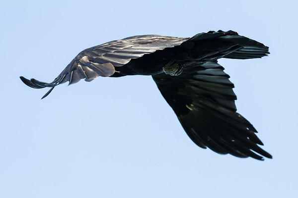 Raven in flight, from behind and to side, one wing curled, one wing down, feet visible. One wing out of focus.